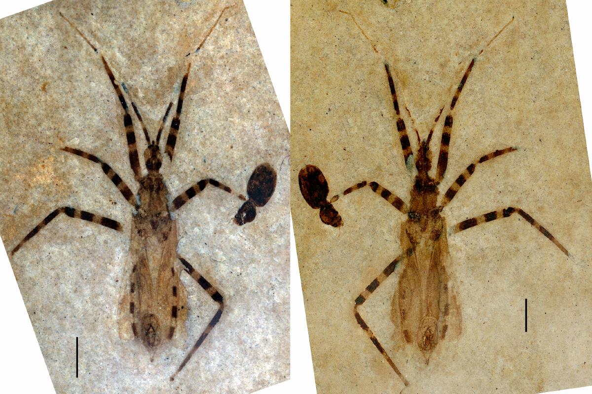 assassin bug fossil